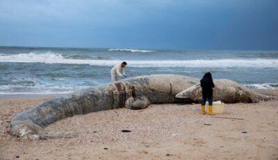 O balenă găsită fără suflare pe plajă după ce a înghițit gudron. Circa 1000 tone au ajuns în mare