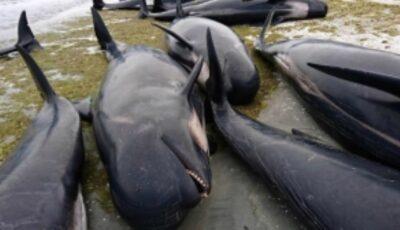 Zeci de balene au murit după ce au eşuat pe o insulă indoneziană