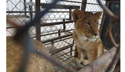 La Grădina Zoologică din Chișinău au fost aduși patru lei africani