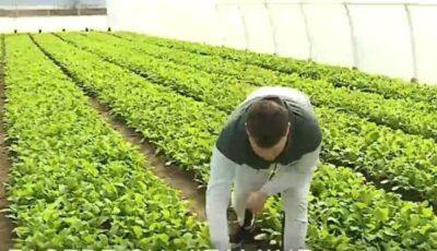 Un moldovean din Coşniţa crește verdețuri de primăvară fără îngrășăminte chimice