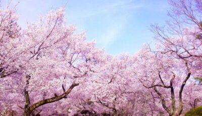 Video! Imagini uimitoare! Au înflorit cireșii, în Japonia