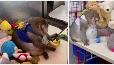 O maimuță obeză, hrănită constant cu mâncare nesănătoasă, a fost salvată dintr-o piață din Bangkok