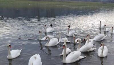 Zeci de lebede și rațe sălbatice, găsite moarte pe malul râului Nistru. Ipotezele specialiștilor