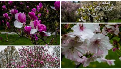 Frumusețe! La Grădina Botanică au înflorit magnoliile