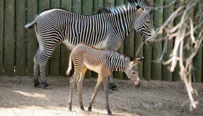 Un pui de zebră a venit pe lume la grădina zoologică din Chişinău