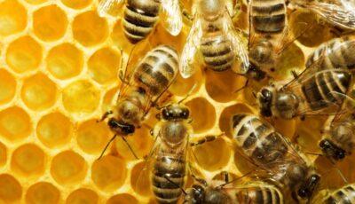 Va fi puțină miere și în acest an. Aproape 50 la sută din albine au murit
