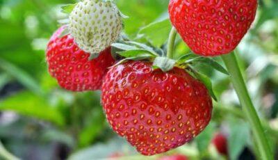 Primele căpșuni autohtone au apărut în vânzare