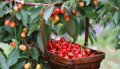 În Moldova, s-au copt primele cireșe