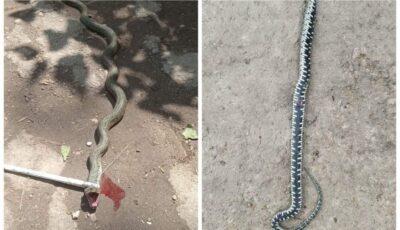 Invazie de șerpi. Un copil din Florești, internat în spital după o mușcătură de șarpe
