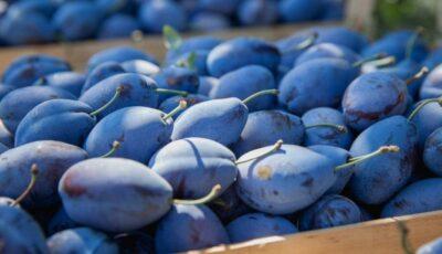 Rusia a interzis importul a 8 tone de prune din Moldova