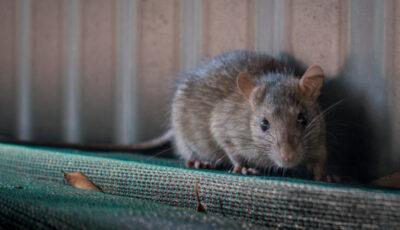 Casele din Marea Britanie, invadate de șobolani de mărimea unor pisici