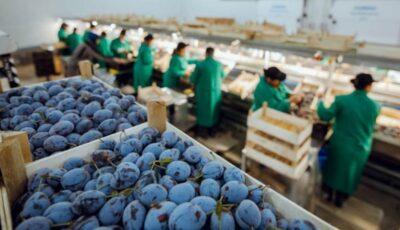 Prune cultivate în UTA Gagauz-Yeri, exportate pentru prima dată în Uniunea Europeană