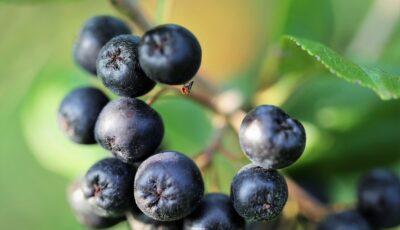 Fructele de aronie au numeroase beneficii pentru sănătate. Află cum le poți consuma!