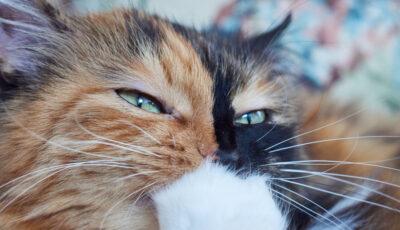 O pisică cu două fețe a devenit celebră pe rețelele sociale. Cum explică oamenii de știință aspectul fizic ciudat