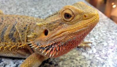 La Grădina Zoologică din Chișinău s-au născut în premieră pui de agama cu barbă. Cum arată!