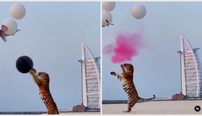Doi părinți au adus un tigru la petrecerea de dezvăluire a sexului bebelușului